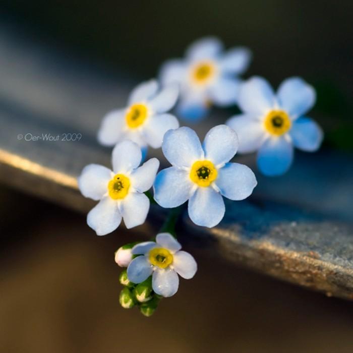 Нежные фото цветов от Oer-Wout 46 (700x700, 68Kb)