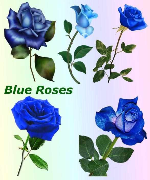 4865645_01Blue_Roses (586x700, 78Kb)