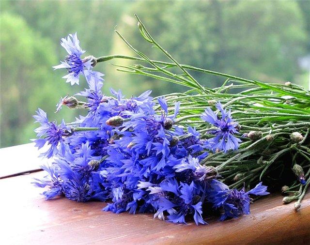 реферат цветок василёк
