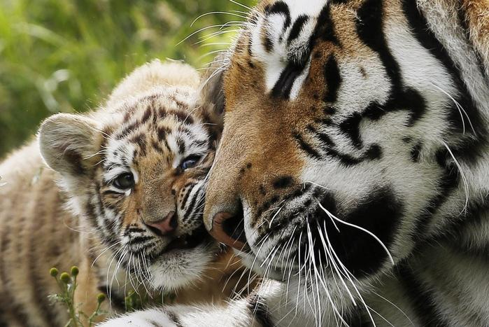 тигрица с детенышем (700x467, 187Kb)