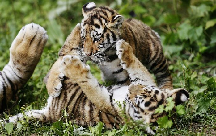 фотографии тигрят 1 (700x441, 179Kb)