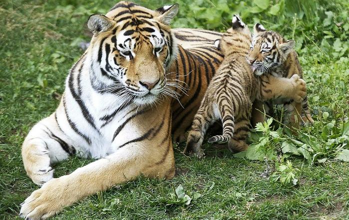 фотографии тигрят 3 (700x441, 228Kb)