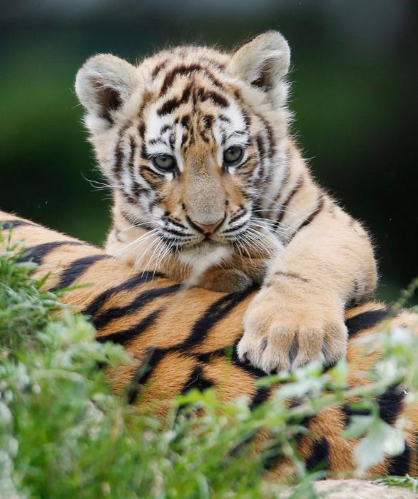 фотографии тигрят 5 (586x700, 496Kb)
