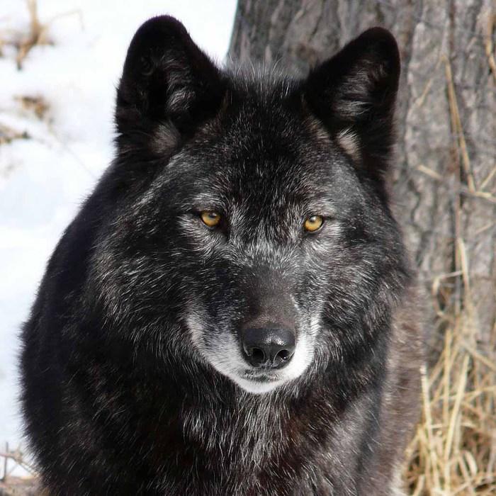 Злой волк картинки карандашом - f0