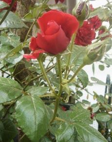 roses-02 (230x292, 18Kb)