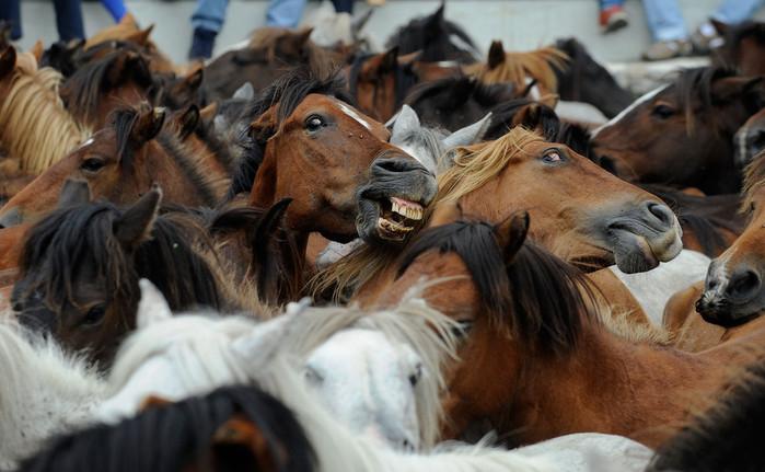 фестиваль клеймения лошадей испания 11 (700x431, 96Kb)