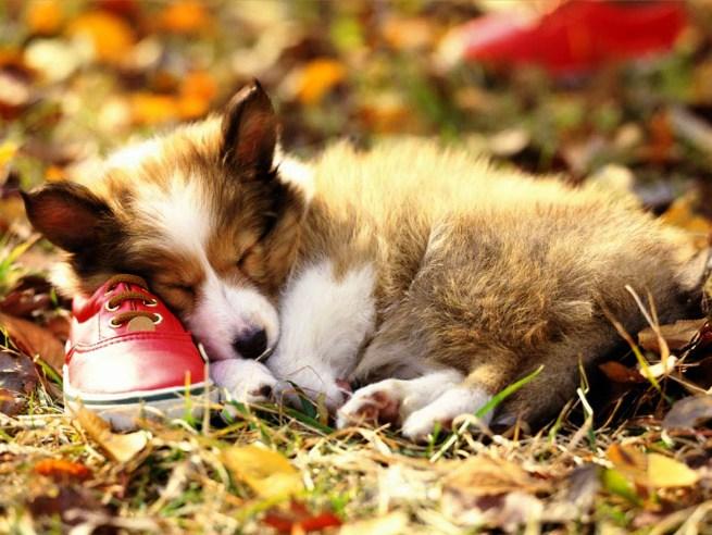 пес спит на ботинке (655x492, 93Kb)