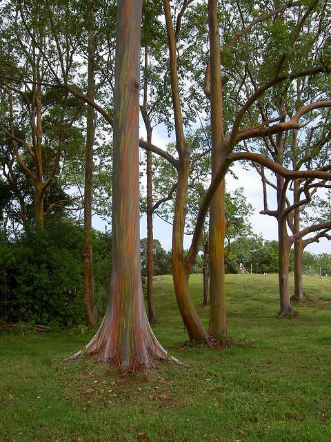 rainbow eucalyptus4 (480x640, 193Kb)