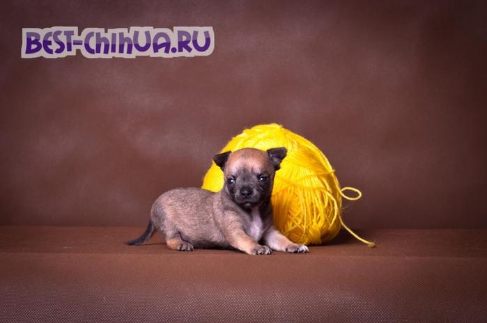 чихуаху (700x464, 183Kb)