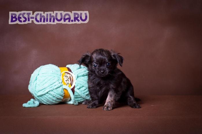 чихуаху1 (700x464, 177Kb)
