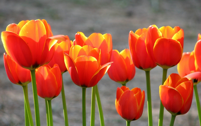 4524271_tulips_in_the_sunset (700x437, 208Kb)