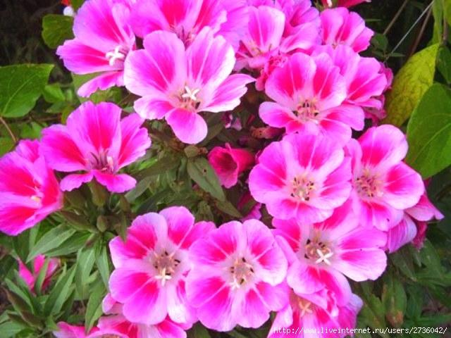 Фото цветов годеции