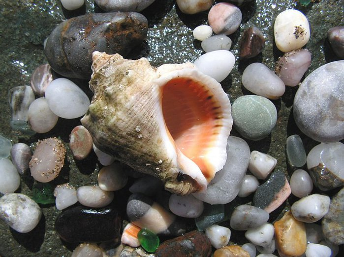 морские ракушки фото (700x524, 95Kb)