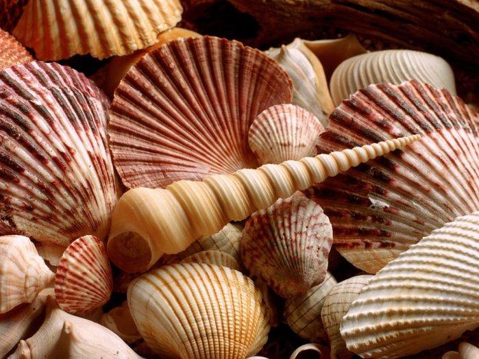 морские ракушки фото 17 (700x524, 102Kb)