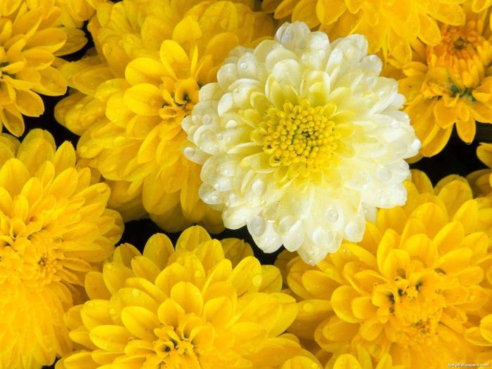 Dahlia-Flower-885234 (700x525, 297Kb)
