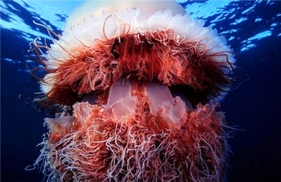 Гигантские медузы во Владивостоке (402x261, 107Kb)