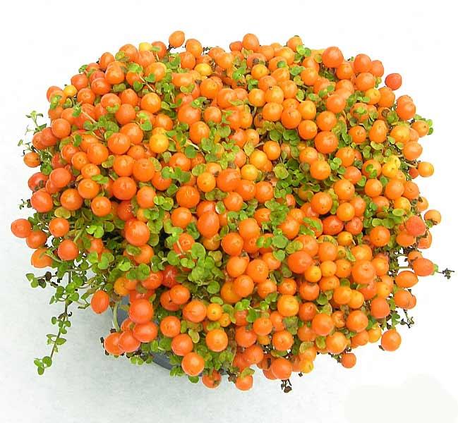 растение Нертера фото (649x600, 60Kb)
