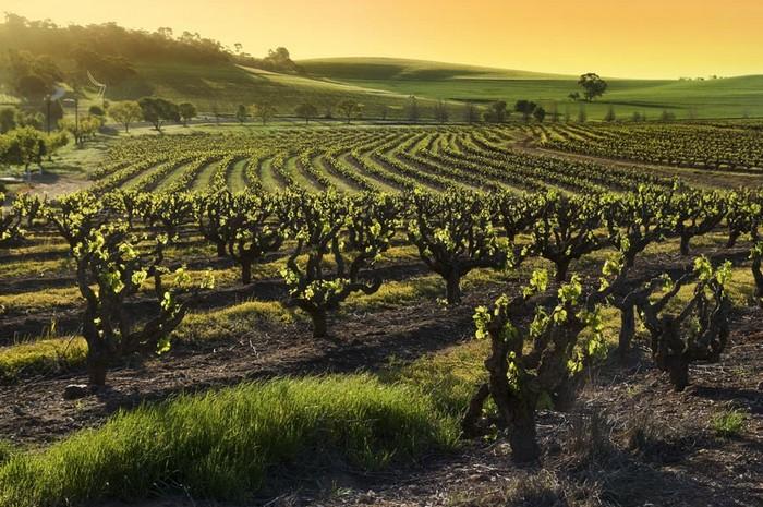 Лучшие достопримечательности Австралии - Долина Баросса 3 (700x465, 153Kb)