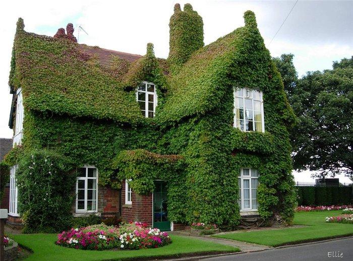 Домм заросший плющом (700x518, 122Kb)