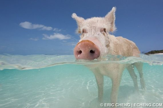 570x379-images-stories2-451-animals-swimming_pigs-pigs-of-bahamas-13 (570x379, 23Kb)