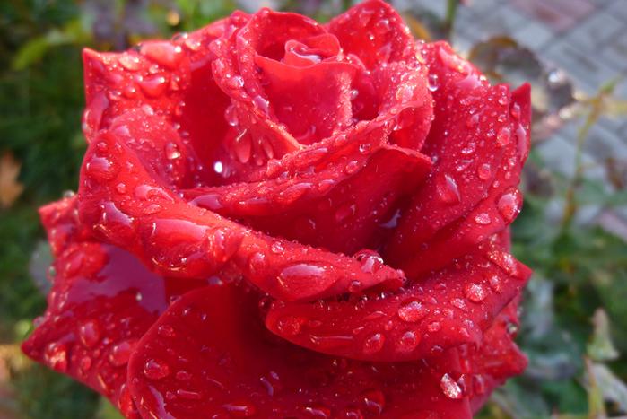 rose-red (700x467, 291Kb)