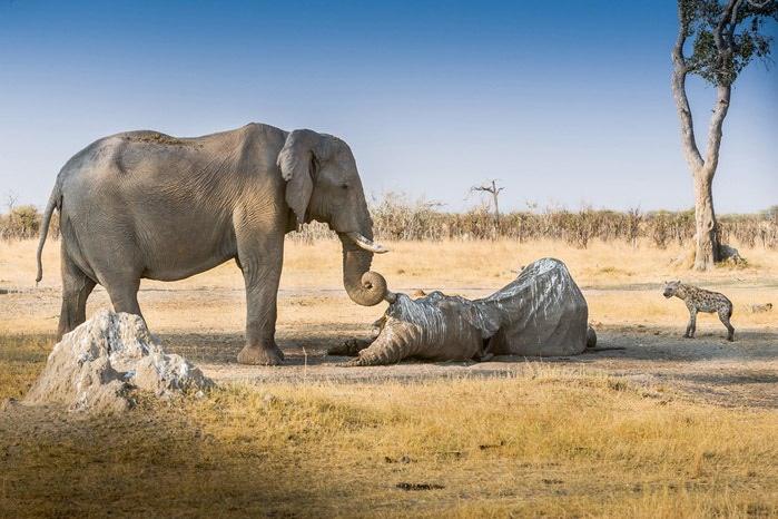 фотография слона/4552399_ (700x466, 93Kb)