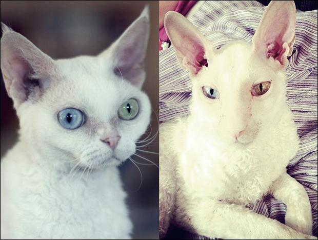 Кошки с разноцветными глазами 04 (620x468, 44Kb)