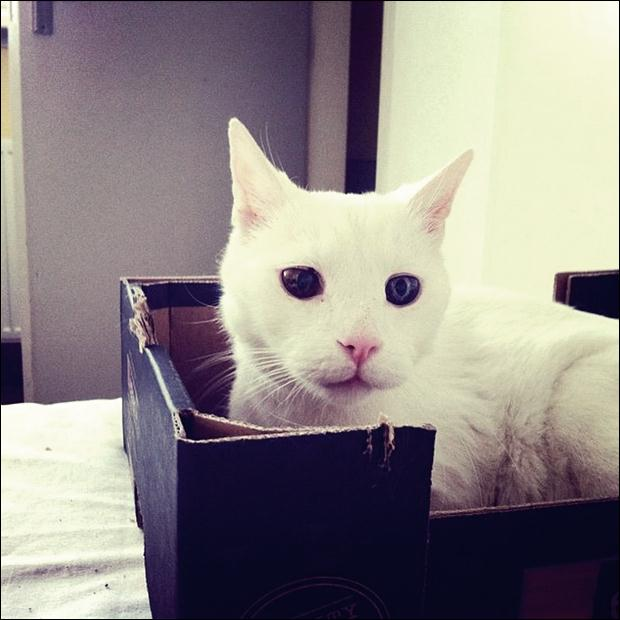 Кошки с разноцветными глазами 06 (620x620, 42Kb)