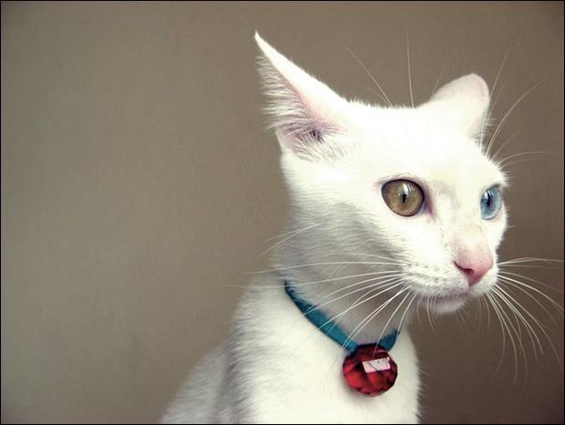 Кошки с разноцветными глазами 08 (620x466, 27Kb)