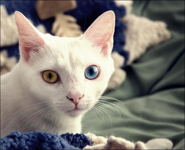 Кошки с разноцветными глазами 09 (620x505, 38Kb)