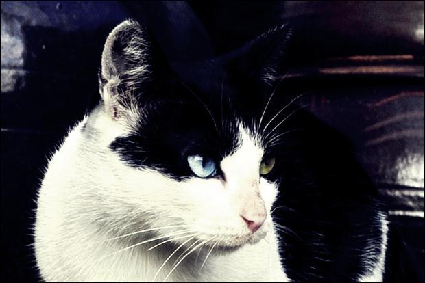 Кошки с разноцветными глазами 13 (620x414, 32Kb)