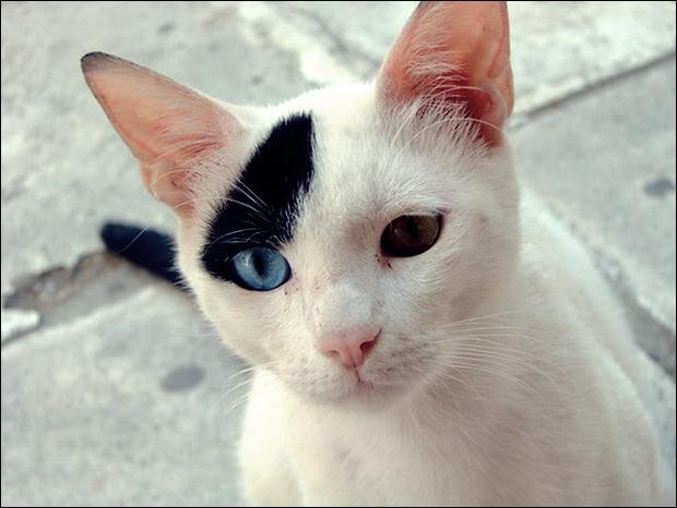 Кошки с разноцветными глазами 15 (620x466, 35Kb)