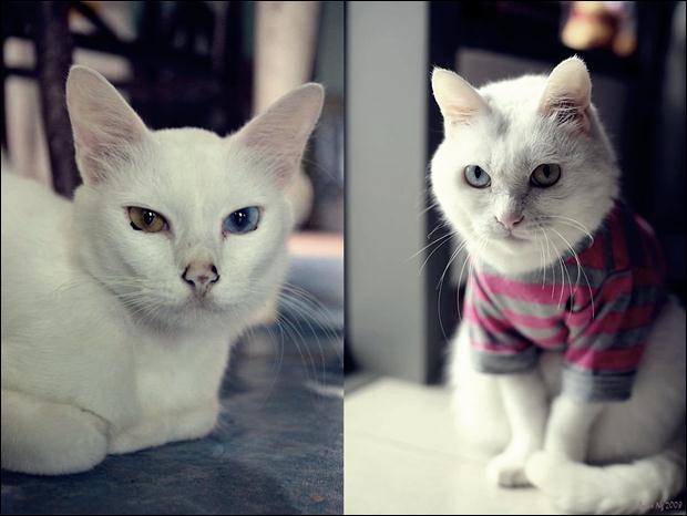 Кошки с разноцветными глазами 17 (620x466, 34Kb)