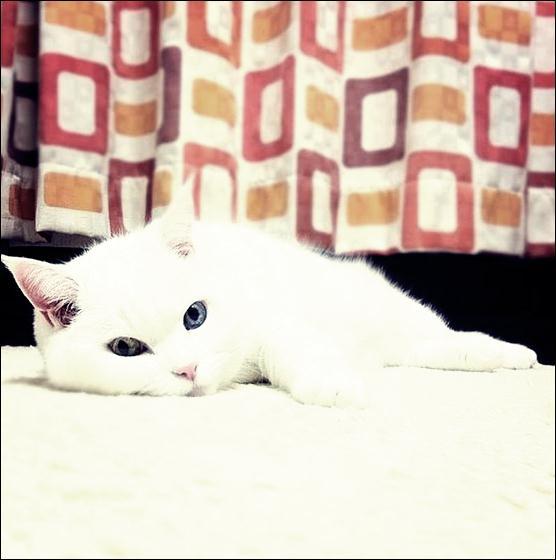 Кошки с разноцветными глазами 19 (556x560, 31Kb)