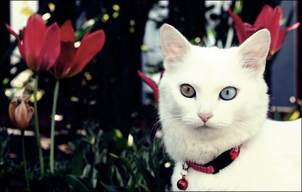 Кошки с разноцветными глазами 21 (620x395, 31Kb)
