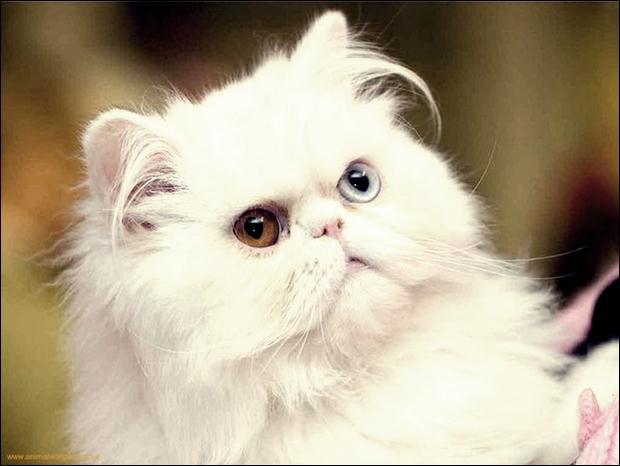Кошки с разноцветными глазами 23 (620x466, 31Kb)