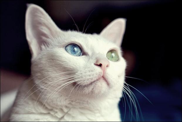Кошки с разноцветными глазами 25 (620x414, 24Kb)