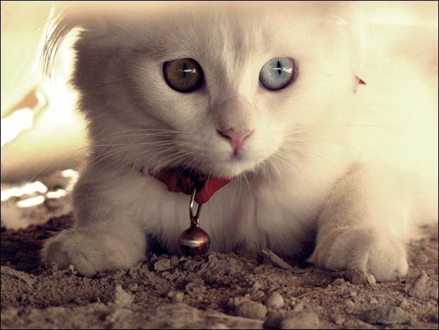 Кошки с разноцветными глазами 27 (620x466, 39Kb)