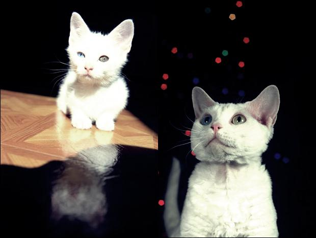 Кошки с разноцветными глазами 29 (620x466, 25Kb)