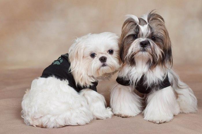собаки породы ши-тцу фото 3 (700x466, 51Kb)