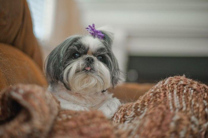 собаки породы ши-тцу фото 5 (700x465, 45Kb)