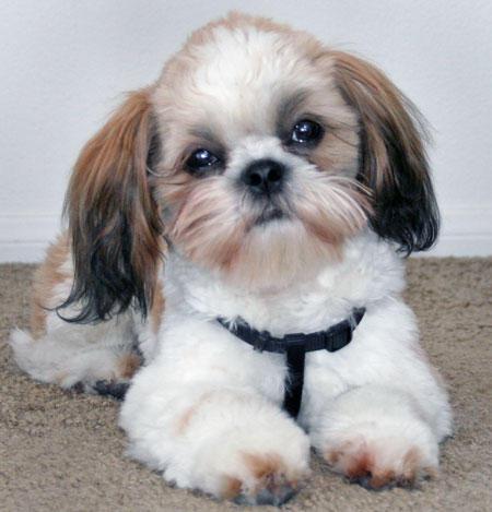 собаки породы ши-тцу фото 6 (450x469, 34Kb)
