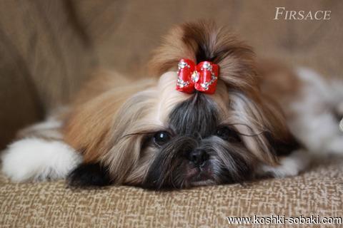 собаки породы ши-тцу фото 8 (480x320, 67Kb)