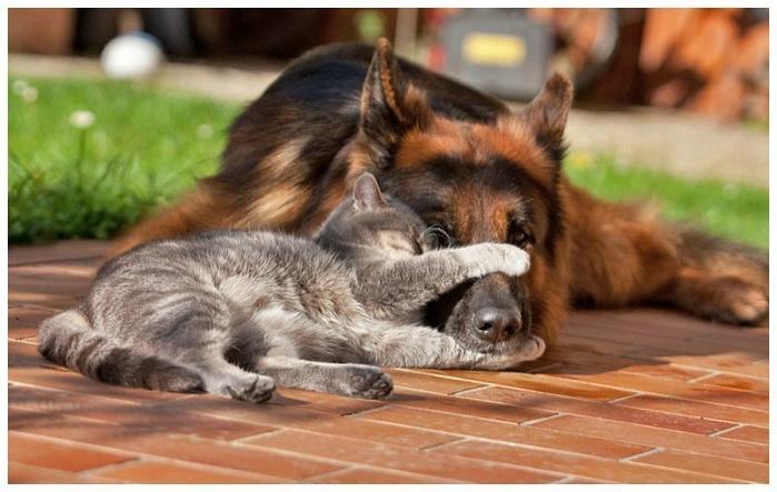 кошка с собакой фото (700x443, 124Kb)