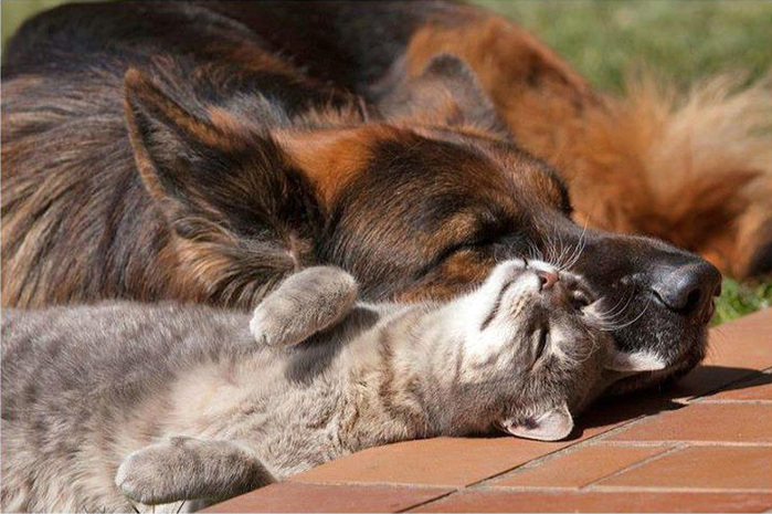 кошка с собакой фото 2 (700x465, 146Kb)