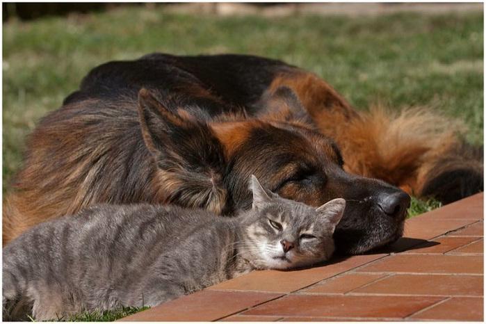кошка с собакой фото 12 (700x466, 129Kb)