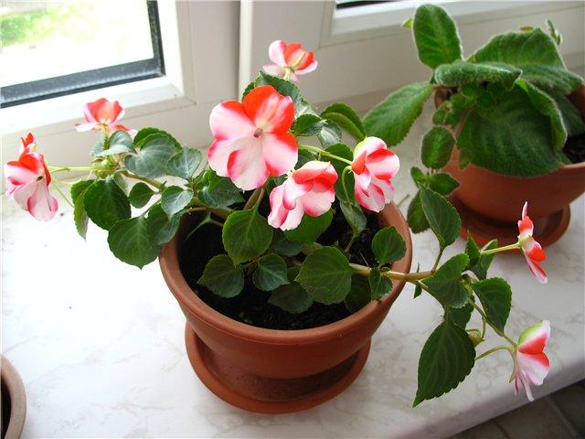 Бальзамин фото комнатных цветов с названиями