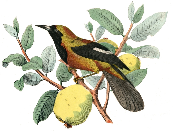 bird fruit vintage image graphicsfairy2c (700x538, 221Kb)