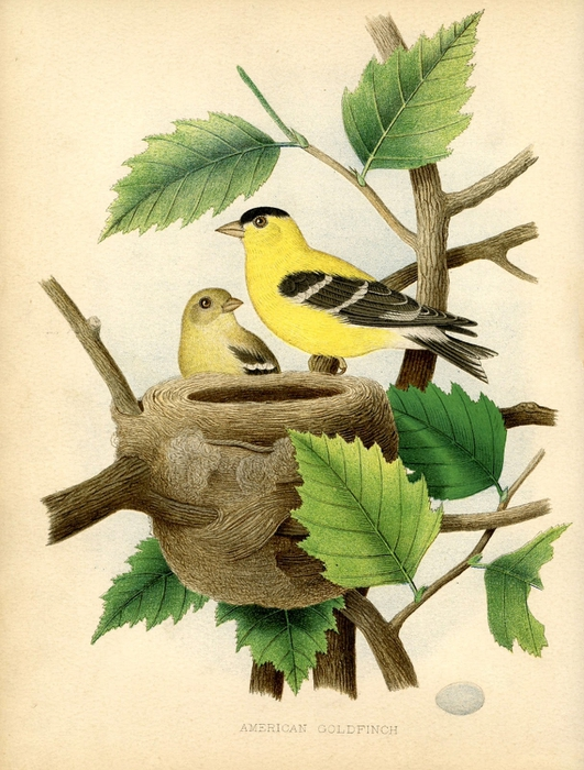 goldfinch nest vintage image  GraphicsFairysm (531x700, 312Kb)