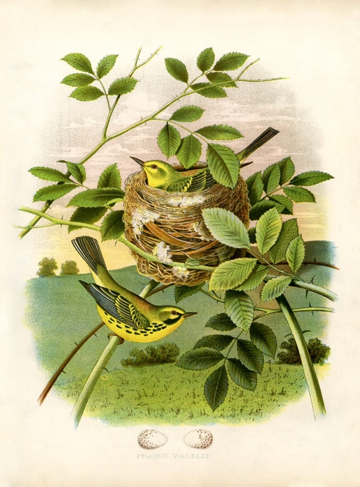 yellow-birds-nest-vintageimage-Graphics-Fairysm (516x700, 298Kb)